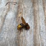 A deceased European hornet seen in Millis, MA on 5/29/20. (Photo Courtesy of Loring Barnes)