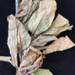 Foliar anthracnose, caused by Colletotrichum, on Bing cherry (Prunus avium 'Bing'). Symptoms include browning and wilting leaves. White to pink-colored, dust-like spore masses are abundant on the blighted foliage.