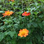 Tithonia rotundifloia blooming in the streetside garden of Grace Church on the Amherst Common.  (photo: B. Litchfield)