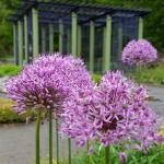 ornamental flowering onion