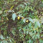 November bloom of Forsythia