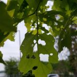 Feeding damage from gypsy moth caterpillars on oak seen on 5/24/17 in Amherst. (Simisky, 2017)