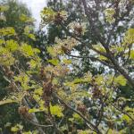 Gypsy moth caterpillars feeding heavily on witch hazel at a location in Boylston, MA as observed on 6/12/19. (Tawny Simisky, UMass Extension)