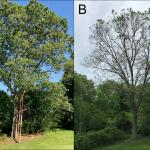 An oak in Hamilton, MA viewed on 5/30/2018 (A) and again on 5/28/2019 (B), nearly one year later. Reportedly, nearly every leaf that is able to be reached in the canopy is covered with similar damage. Samples taken from this tree and sent to the UMass Plant Diagnostics Laboratory contain evidence of the oak shothole leafminer adult fly damage and oak anthracnose. (Photos courtesy of Gerard Fallon)