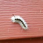 The hairy caterpillar of the hickory tussock moth as seen on the siding of a home in Hampshire County, MA on 9/14/17. These caterpillars can come in two slightly different color patterns, but are generally white with black markings and very hairy. Do not touch these caterpillars with bare skin, as their hairs are irritating to most who come into contact with them. (Simisky)