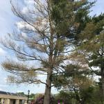 Eastern white pine on the UMass campus in severe decline. The needle blight pathogen Septorioides strobi was found to be very abundant on blighted needle tips.