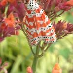 Bella moth (Utetheisa ornatrix)
