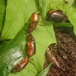 Figure 2. May/June beetles feeding on oak and maple foliage