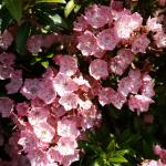 Kalmia latifolia 'Tiddlywinks', pink mountain laurel   (photo: Mark Richardson)