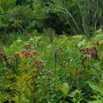 Late summer wet meadow mix of lobelias, Joe-Pye weed going to seed, goldenrod, and boneset