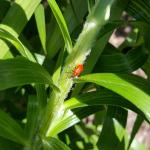 Bright red, adult lily leaf beetles are still seen on host plant foliage in Amherst, MA as observed on 6/3/19. (Tawny Simisky, UMass Extension)