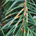 Spruce needle rust, caused by Chrysomyxa weirii, on Colorado blue spruce (Picea pungens). The orange-colored needle lesions have ruptured to release spores that will infect newly developing needles.