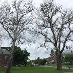 Sycamore anthracnose continues to delay leaf out for some large and significant sycamores in the area. (Nicholas Brazee, UMass Extension)