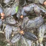 Fig. 2: Feeding damage by lace bugs (Stephanitis) on Rhododendron.