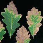 Fig 1: Oak anthracnose, caused by Apiognomonia errabunda, on swamp white oak (Quercus bicolor).