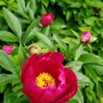 Paeonia (unknown cultivar)