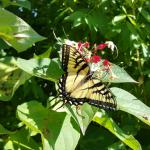 The always impressive eastern tiger swallowtail butterfly viewed on 10/4/17 in Boylston, MA. (Simisky)