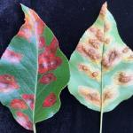 Pear-Trellis_Rust (photo by N. Brazee)