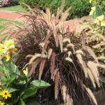 Annual Fountain Grass (Pennisetum setaceum 'Rubrum')