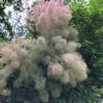 (photo 2) Cotinus coggygria 'Young Lady'