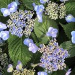 (photo 3) Hydrangea 'Blue Billow'