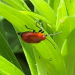 (photo 4) Lily leaf beetle