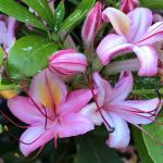 (photo 4) Azalea 'Weston's Pink'