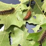(photo 5) Gypsy moth caterpillar and pupa