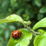 (photo 6) Lady bug and aphids
