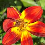 (photo 7) Bidens 'Campfire Sunburst' flower damaged by the sunflower moth caterpillar.