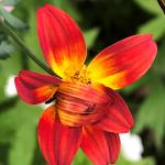 (photo 8) Bidens  'Campfire Sunburst' flower with petal pulled over center.