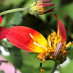 (photo 9) Bidens  'Campfire Sunburst'  flower dissected to show caterpillar feeding in center.