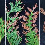 Symptoms of infection by Phyllosticta thujae on western redcedar (Thuja plicata).