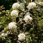 Physocarpus opulifolius 'Diablo', common ninebark.  (photo: Mark Richardson)