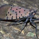 An adult spotted lanternfly, as photographed in Pennsylvania. (Photo courtesy of Gregory Hoover)