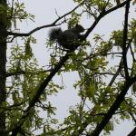 An eastern gray squirrel high in the canopy of a bur oak in Amherst, MA on 5/15/18. This squirrel was methodically snipping of the tips of branches and had dropped dozens of them to the ground. (Photo: T. Simisky)