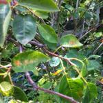 Close-up shot of serviceberry plant