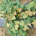Cucurbit downy mildew causes yellowing and dieback of cucumber foliage.