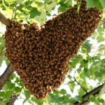 Another swarm in a tree