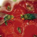 Spotted Wing Drosophila Management