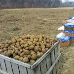 Harvesting potatoes at the South Deerfield farm