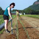 Hoeing weeds at the South Deerfield farm