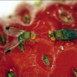 Spotted Wing Drosophila on fruit