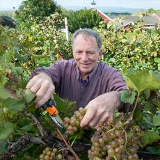 Phil Wiley cutting ripened grapes at UMass Cold Spring Orchards