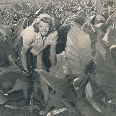 Anne Wysocki chopping tobacco, August 1946.
