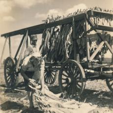 Alexander and Anne Wysocki harvesting tobacco, 1946.