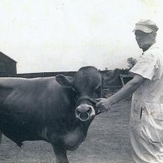 Albert R. Potter, head herdsman for Adams dairy farm, leads Jersey bull, late 1940's.