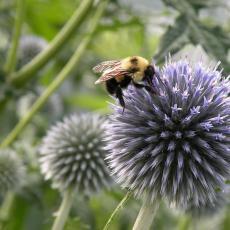 Bumble bee on globe thistle