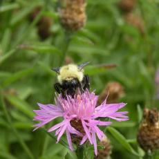 Bumble bee on an invasive weed, spotted knapweed, that grows on the off-cranberry bog margins