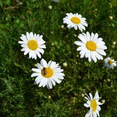 Native bee on daisy